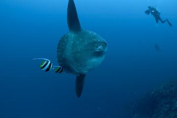 Sunfish, bannerfish and divers