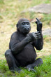young gorilla sticking up its middle finger