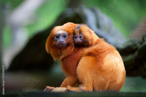 Fotobehang Leeuw golden lion tamarin with baby