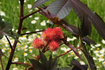Blüte des Wunderbaums