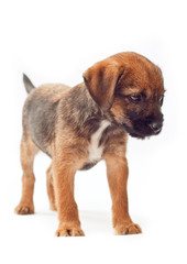 Border terrier puppy stands calmly