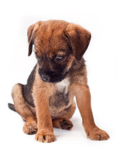 Border terrier puppy looks with interest