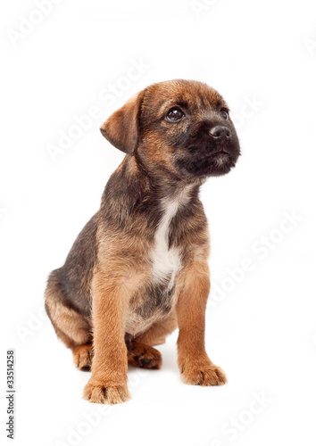 Border terrier puppy looks up