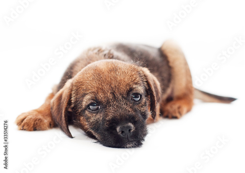 Border terrier puppy looks sadly