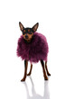 fashion miniature pinscher
