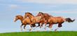 Four trakehner sorrel stallions gallop