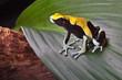 poison dart frog on leaf