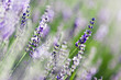 Lavande fleur - lavender flower