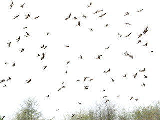 Swallows, flock of  birds isolated on white