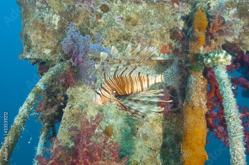 Red Sea lionfish on a shipwreck