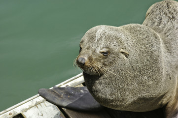 African seal