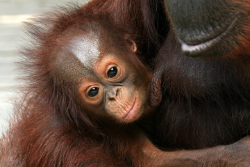 Orangutan オランウータンの赤ちゃん