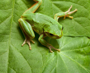 Tree frog on leaves background