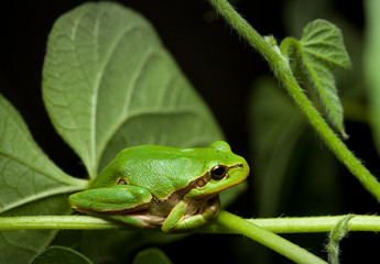 Green tree frog sitting on leaf