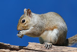 Gray Squirrel On A Log
