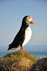 Puffin on a grassy cliff, Latrabjarg, north Iceland