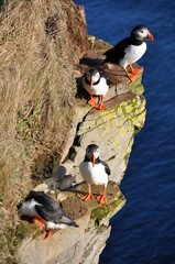 Puffins on a grassy cliff, Latrabjarg, north Iceland