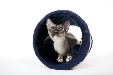 chat siamois dans le tunnel en velour popur se cacher