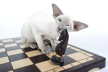 chat siamois sur un échiquier jouant avec le cavalier