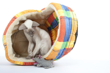 chaton siamois prenant son jouet pour une proie