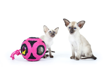 deux chats siamois avec leur jouet