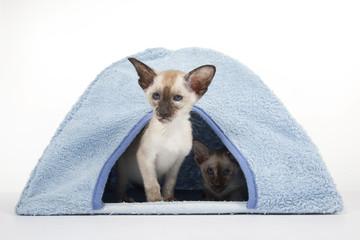 chat siamois dans son lieu de couchage