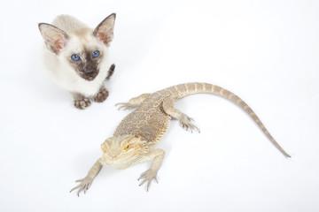 rencontre insolite d'un siamois et d'un dragon barbu