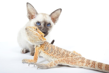le chat siamois et le dragon barbu