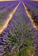 obraz - lavandes en fleur