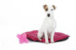 jack russell terrier assis sur son coussin