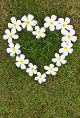Lan Thom white heart-shaped flowers on the grass.