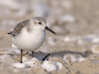 Strandläufer / Sanderling