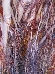 Old tree roots, raíces de árbol viejo.