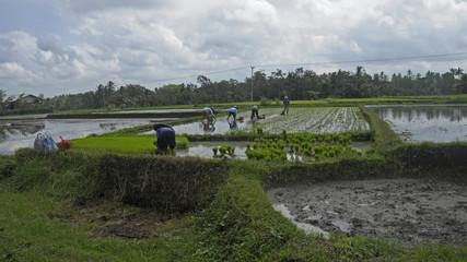 Reisfeldarbeiten