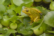A green frog sitting on leaf surrounded by water plants