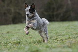australian cattle dog jumping and running