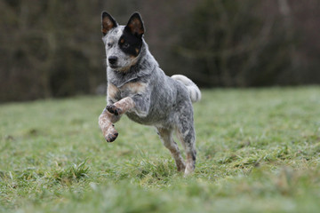 australian cattle dog jumping and running
