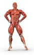 ������, ������: Man muscular system anterior view in body builder pose
