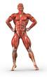 Постер, плакат: Man muscular system anterior view in body builder pose