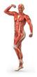 Постер, плакат: Man muscular system anterior view in body builder position