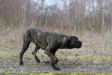 chien en position d'attaque