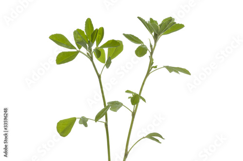 Twig of Fenugreek