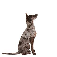 Aufmerksamer Hund lernt Kommando Sitz
