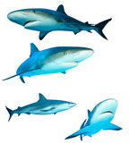 Fototapety Sharks (Reef Sharks) on white background