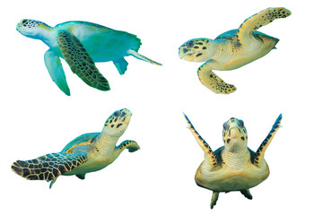 Sea Turtles. Green Turtle (top left) and Hawksbill Turtles