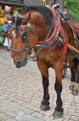 Horse in Tatry - Zakopane main street