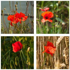 composition coquelicots
