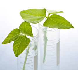 GM plant seedlings in test tubes