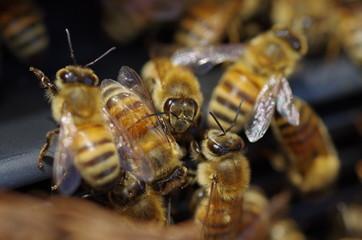 巣のミツバチ