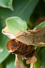 tree lizard ,phuket thailand
